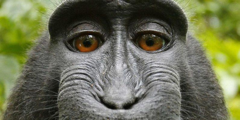 The monkey selfie lawsuit lives