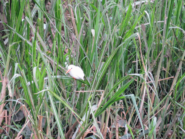 Albino Malachite Kingfisher on the Kazinga Channel in Uganda