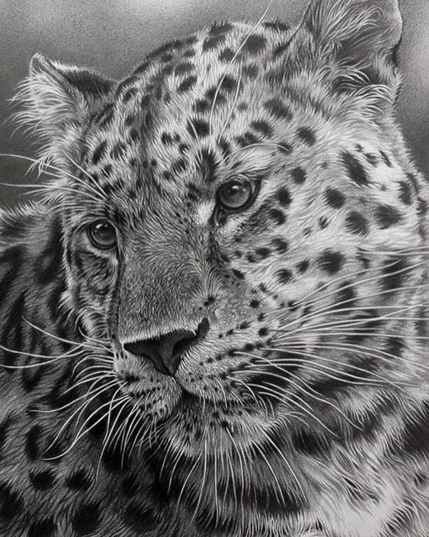11-Leopard-Julie-Rhodes-Color-Pencil-Wild-Animal-Drawings-www-designstack-co