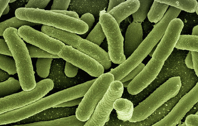 Il batterio Escherichia coli