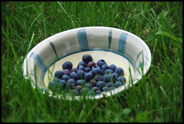 bleuet myrtille marguerite verte blog culture jardinage