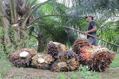 Lowongan Kepala Senior Kebun Sawit Siak Kecil November 2018