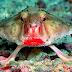 COISAS QUE VOCÊ NUNCA VIU #38: Conheça o Peixe-morcego dos lábios vermelhos