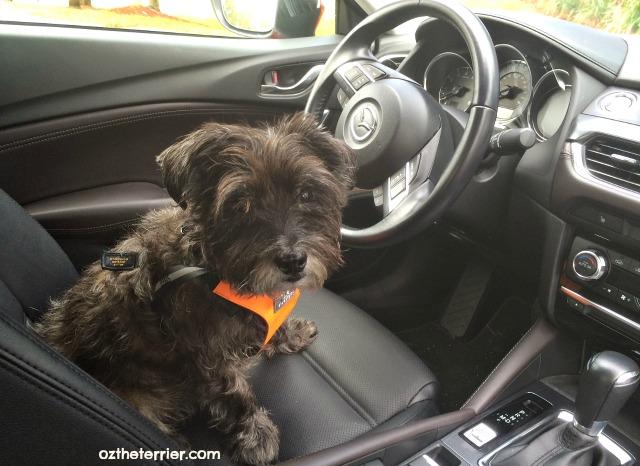 Oz the Terrier in 2016 Mazda 6 sedan