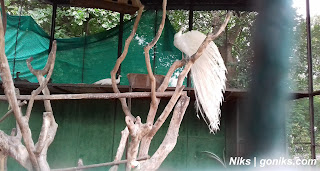 white peafowl picture