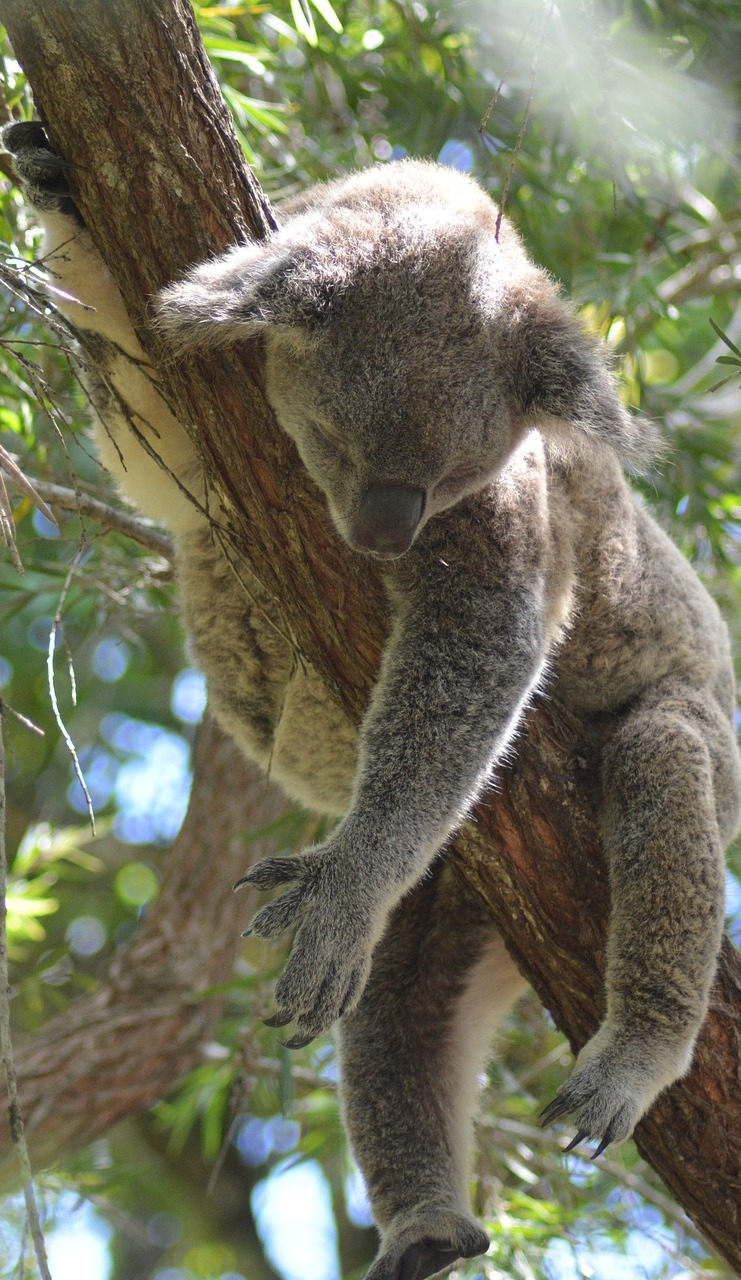 Picture of a koala sleeping.