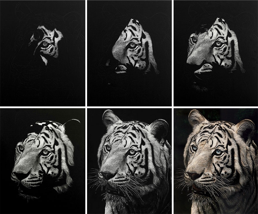07-Tiger-WIP-Cathy-Sheeter-Hyper-Realistic-Scratchboard-Wild-Animal-Drawings-www-designstack-co