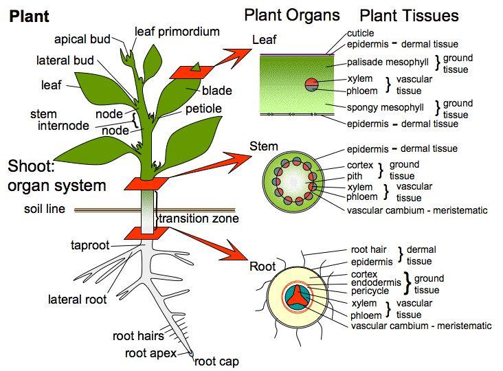 Materi Ringkasan Anatomi Tumbuhan Generasi Biologi