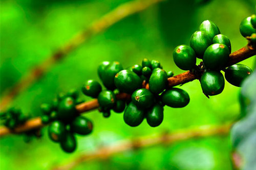 thuoc-giam-can-green-coffee-bean