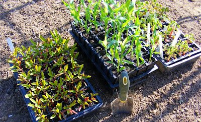 Growing Oca: Oca/Corn/Huauzontle Polyculture — Still Seeking Resilient Low-work Growing Systems.
