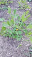 Come fertilizzare un orto biologico: leguminose