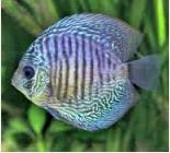 Ikan Hias Air Tawar Termahal Hibrid Discus