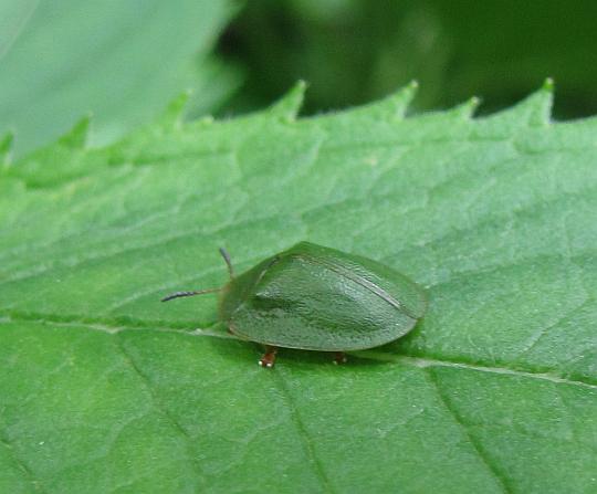 Tarczyk zielony (Cassida viridis).