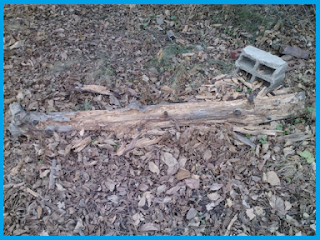 the chewed log that I first took notice of: Not much bark remaining.