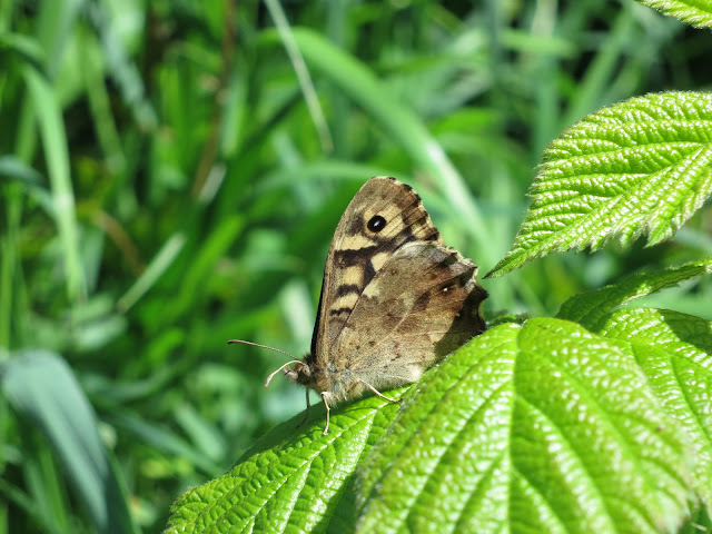 Speckled Wood Butterfly (Pararge aegeria) on bramble leaf with wings closed.