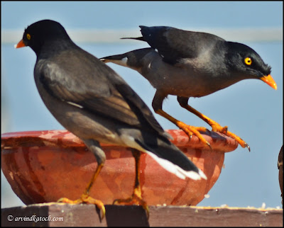 Pair, Jungle Myna, Myna