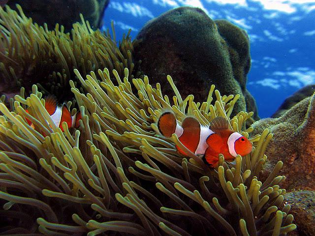 Nelayan di Banyuwangi Mengamati Ikan Nemo Selama 48 Jam
