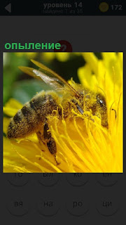 На желтом цветке сидит пчела и опыляет очередной цветок, собирает нектар