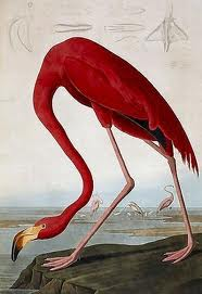 Flamingo - John James Audubon