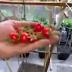Cara Menanam Tomat di Pot Atau Polybag yang Baik dan Benar