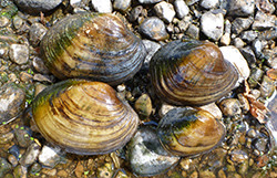 http://www.dupageforest.org/freshwater-mussel-release/