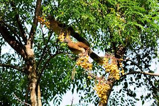 Chachalacas in Neem tree