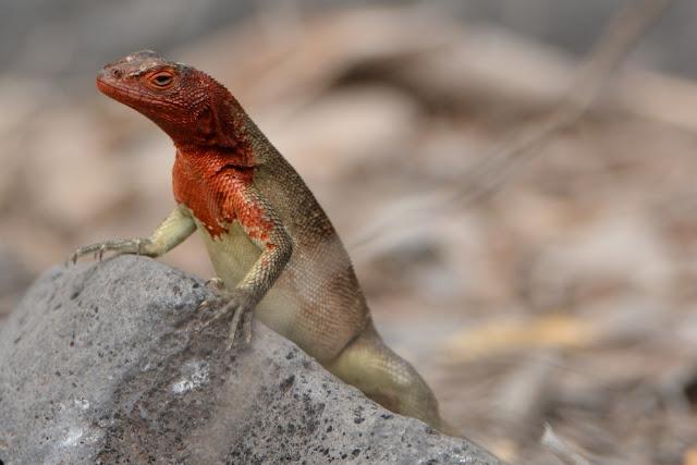 Punta Suarez Lizard