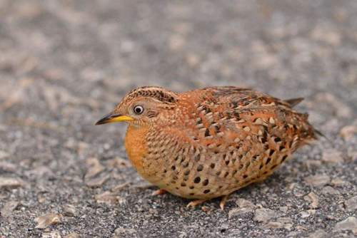 Birds of India - Yellow-legged buttonquail - Turnix tanki