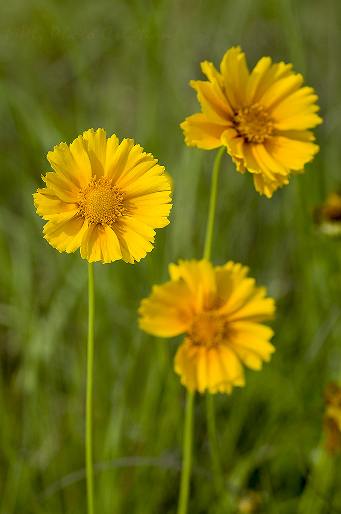 Mpg photo creations kansas wildflowers yellow orange mightylinksfo