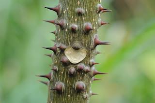 カラスザンショウの葉痕 【屋久島の植物】