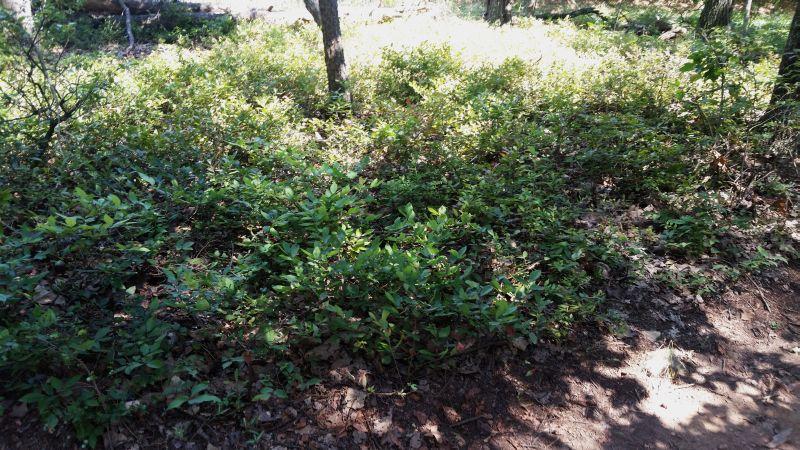 gaylussacia frondosa - photo #33