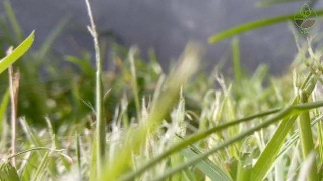 اكثار و زراعة النجيل بالأشتال (قصاصات العشب)