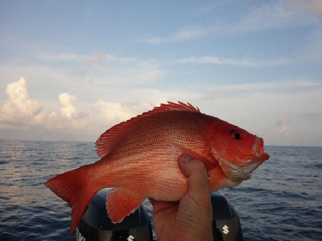 Budidaya Ikan Kakap Merah