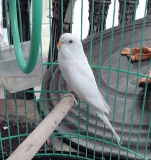 parkit albino