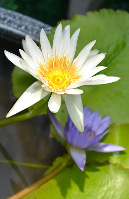 http://aec.artistwebsites.com/featured/white-and-purple-lotus-flowers-at-golden-mount-aec-abundant-eight-creative.html