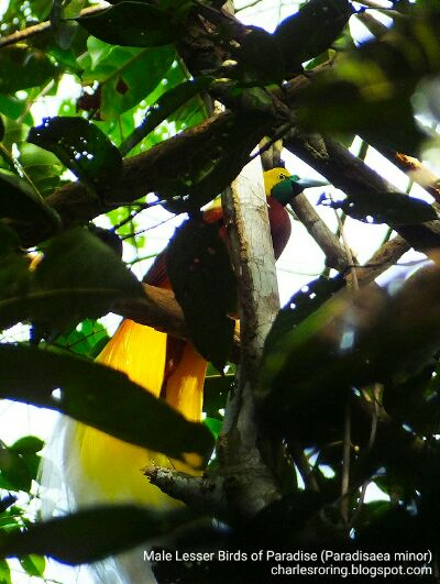 Burung Surga Papua