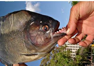 سمك البيرانا وعلاقتة بالانسان