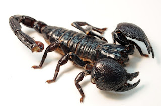 Scorpion: facts, characteristics, habitat and reproduction.
