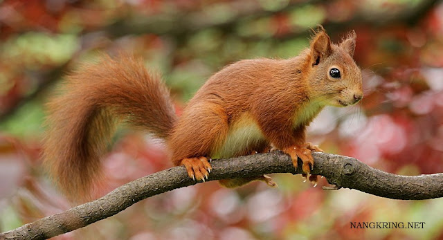 Nutrient content contained in Squirrel meat is needed by the health of the human body because its protein content is 21.4 grams, fat, minerals, and vitamins contained in Squirrel meat will be able to build cells, tissues, in the organs of the human body and can become drugs diabetes is the most effective