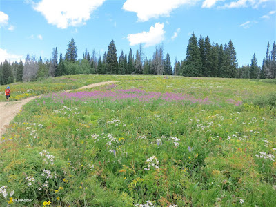 wildflowers, Dumont Lake, CO