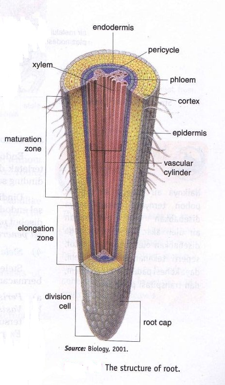 Structure Of Plant Organ ~ New Science Biology