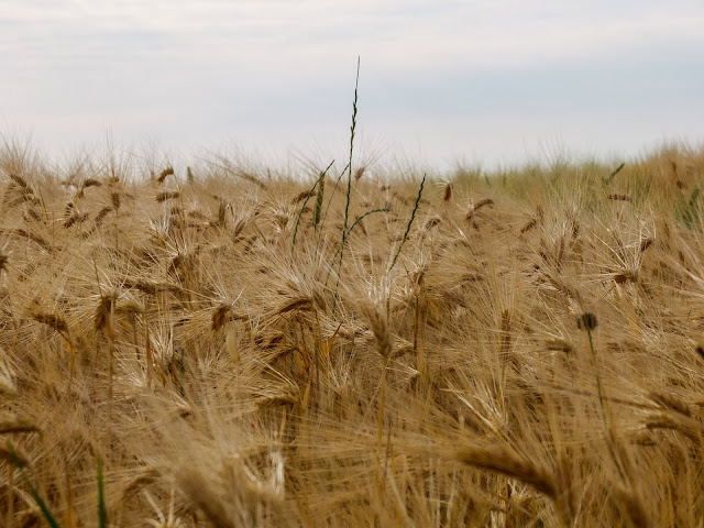 Close up of wheat stalks bending in the wind.