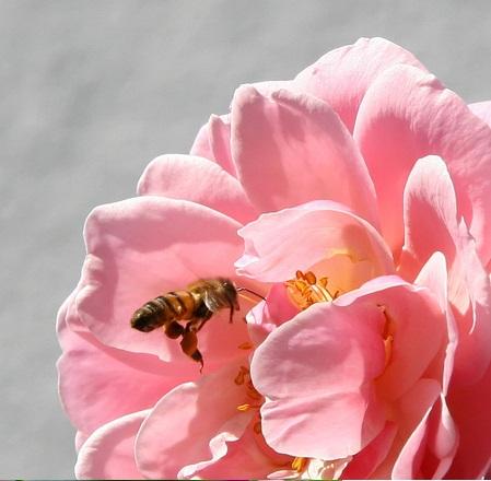 IMÁGENES DE ABEJAS - IMAGES OF BEES.