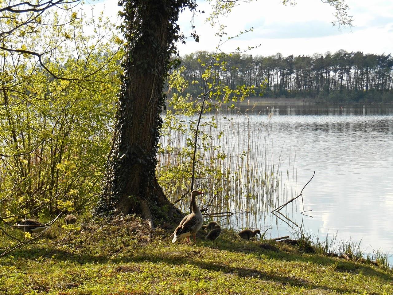 nad wodą, drzewo, jezioro, bluszcz