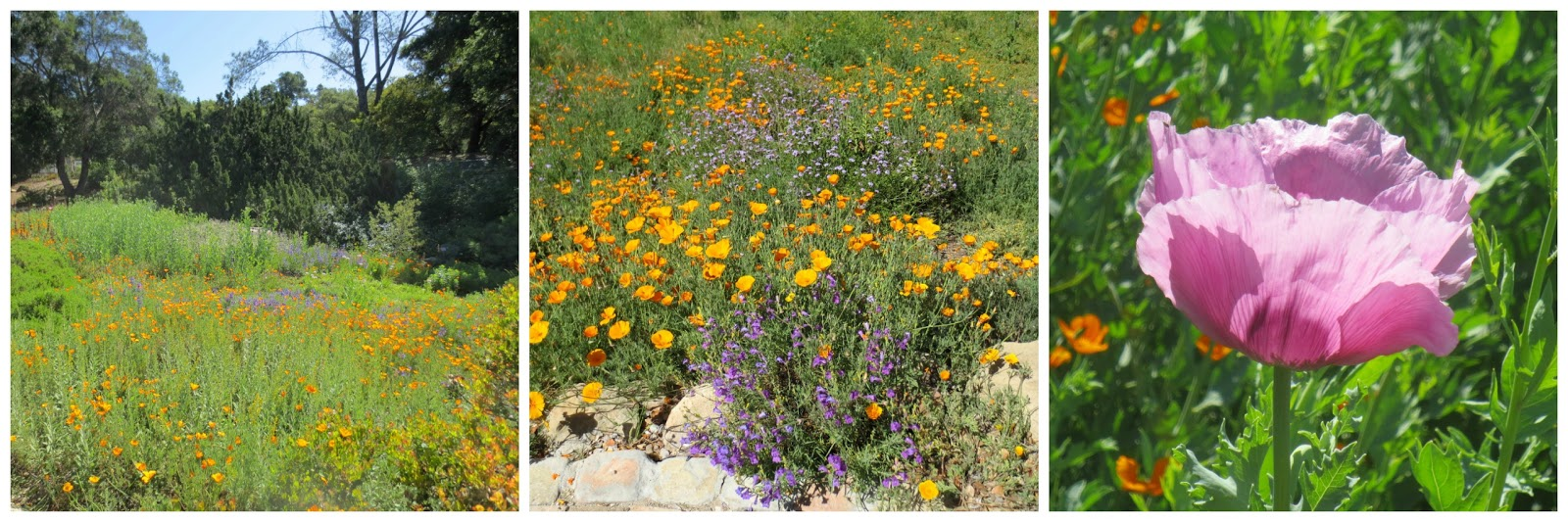 orange and purple blooms dominated the meadow but there were other colors mixed in here and there - Santa Barbara Botanic Garden