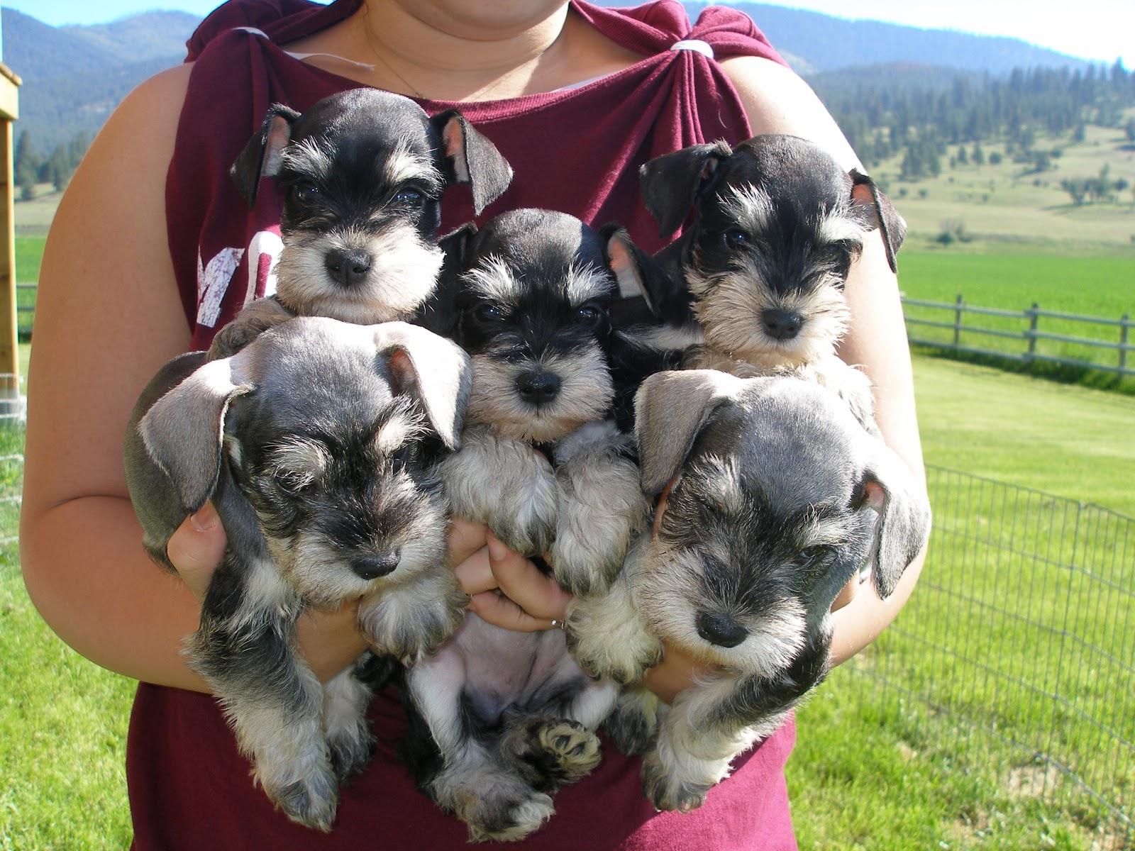 Pink Wallpaper With Cute Puppy Golden Retriever Cute Dogs Miniature Schnauzer Puppies