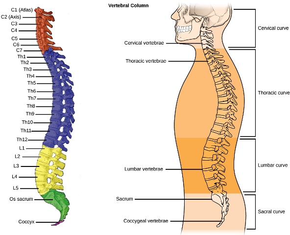 susunan tulang belakang