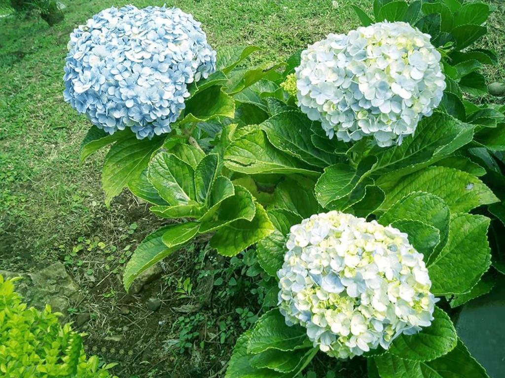 Hydrangea Macrophylla. Bunga yang mampu merubah warna kelopaknya sesuai dengan kadar pH tanahnya