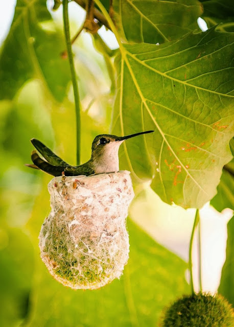 Hummingbird relaxing in her nest