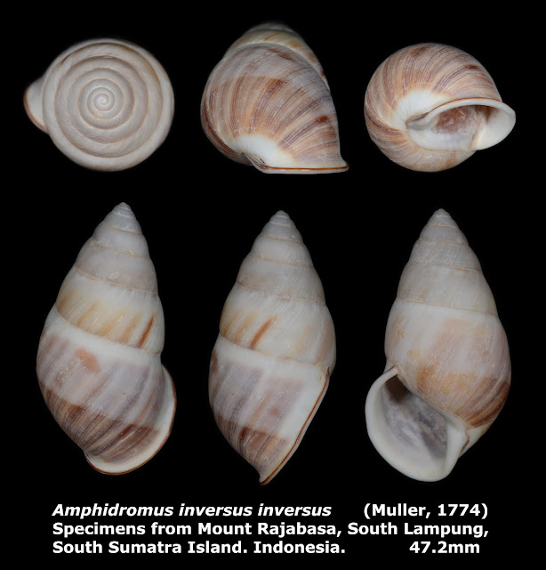 Amphidromus inversus inversus 47.2mm